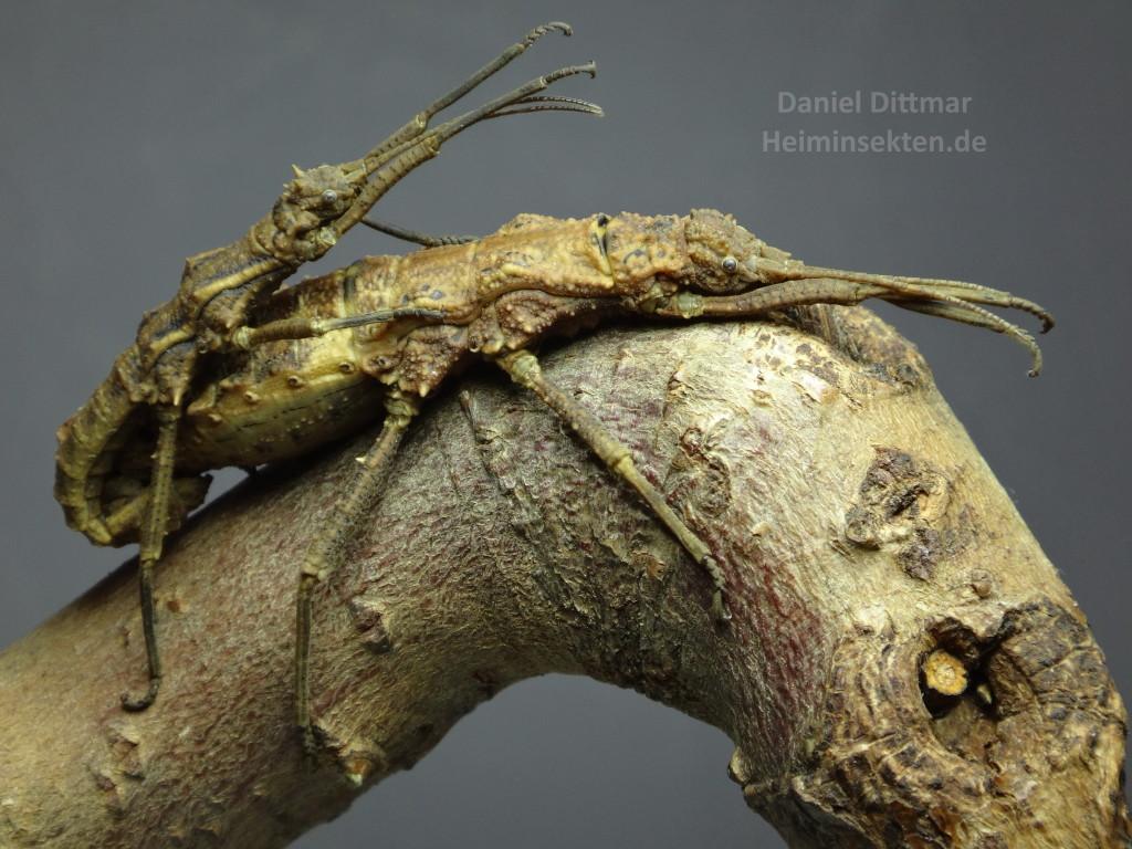 Dares philippinensis