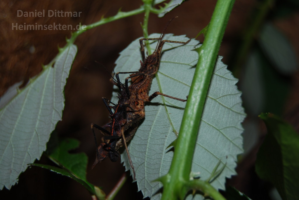 Hoploclonia gecko