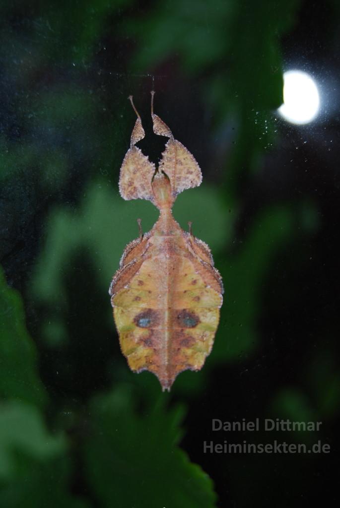 Phyllium celebicum 'Sulawesi'
