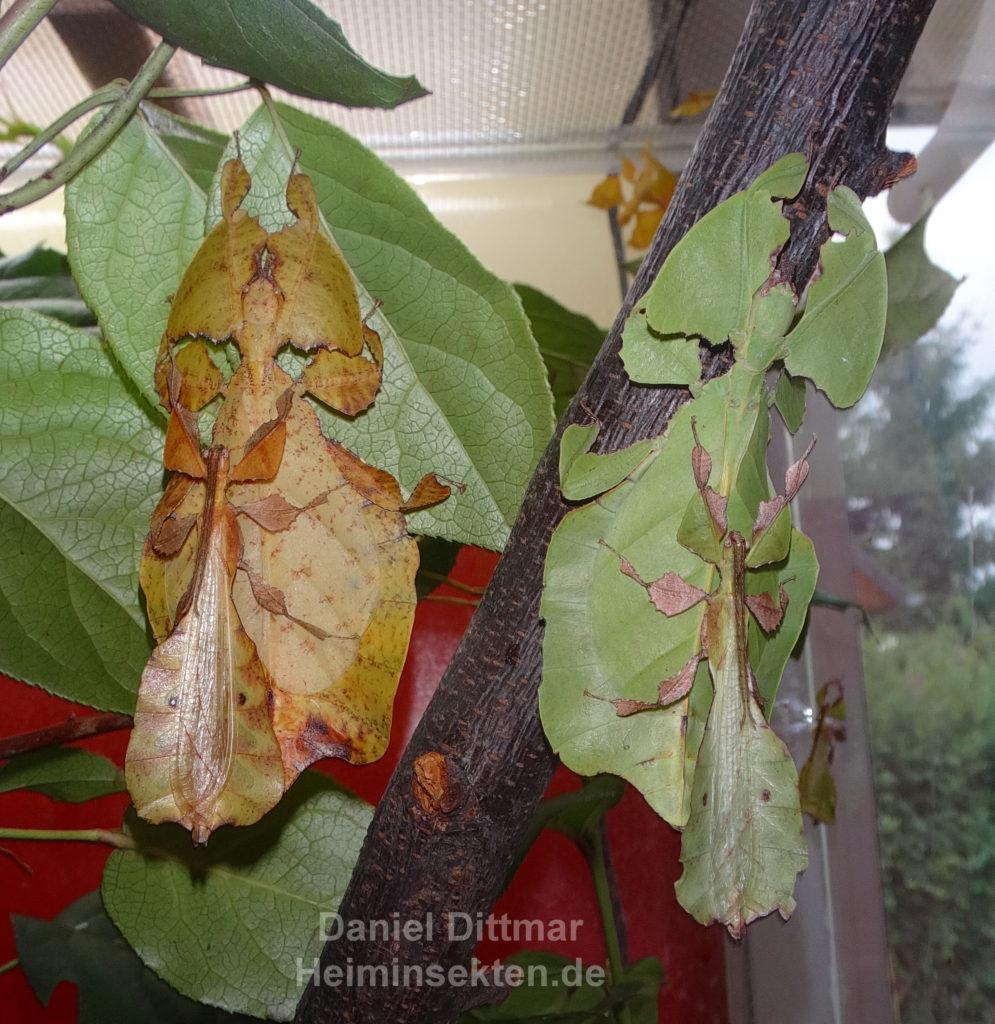 Phyllium bioculatum 'Sukabumi' 01