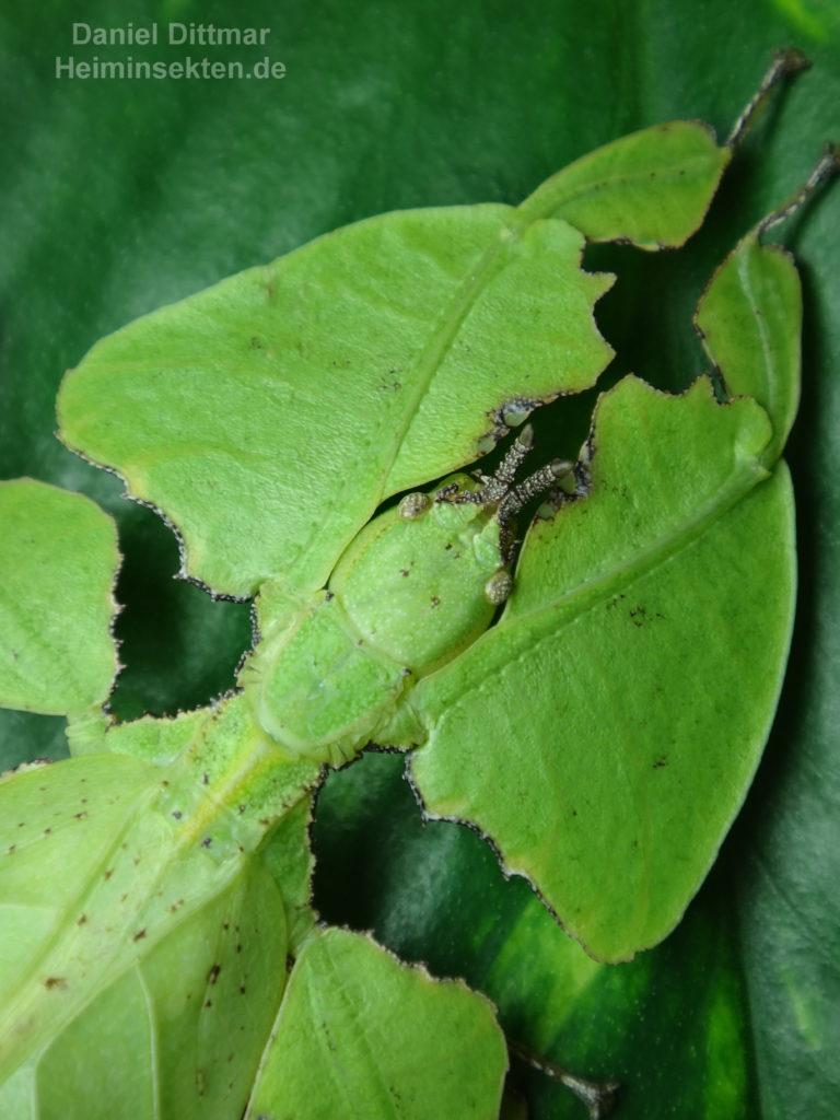 Phyllium bioculatum 'Sukabumi' 05