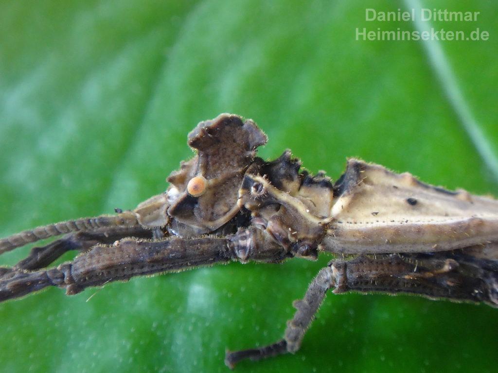 Pylaemenes borneensis sepilokensis 'Sepilok' 05
